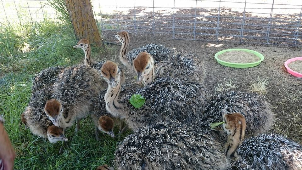 Healthy ostrich chicks, hatching eggs and other Birds for ...