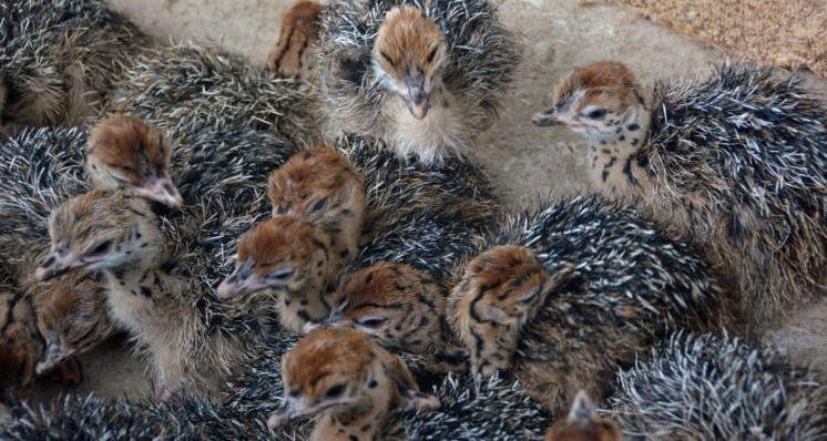 f991307e20b Ostrich Chicks and Fertile Ostrich eggs for sale (Emus & Rheas available  too)